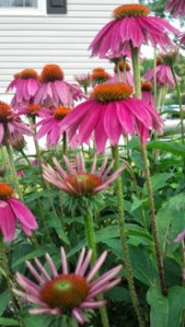 Cone_flowers_web