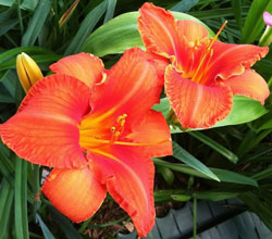 Day_lilies_web