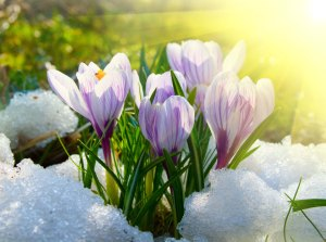 crocuses_ed_web