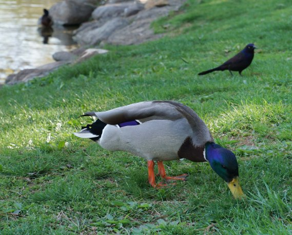 A mallard hunting for something good to eat.