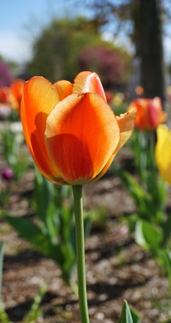 Tulips in bloom!